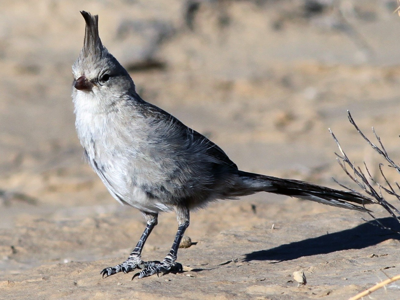 Chirruping Wedgebill - Chris Wiley
