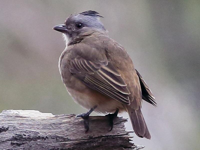 Crested Bellbird - Surong Gunn