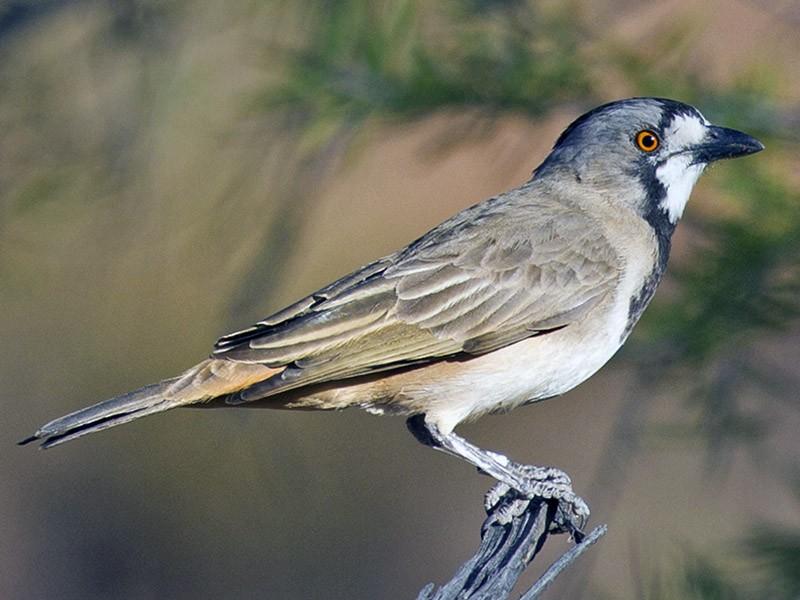 Crested Bellbird - Mat Gilfedder