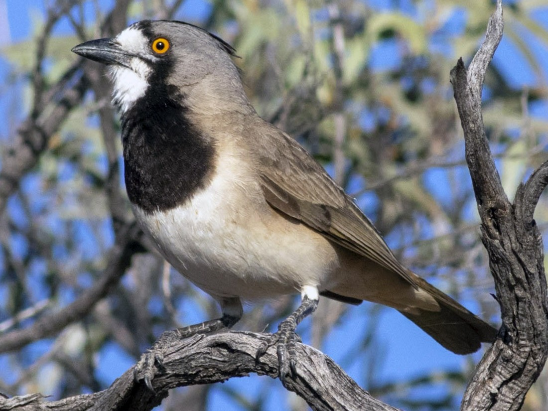 Crested Bellbird - Stephen Murray