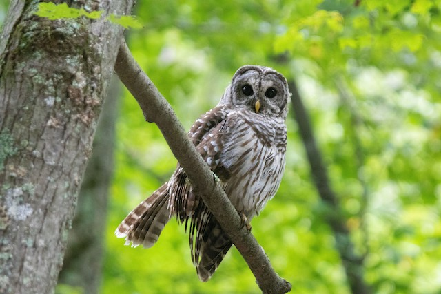Barred Owl (Northern) ML174477281