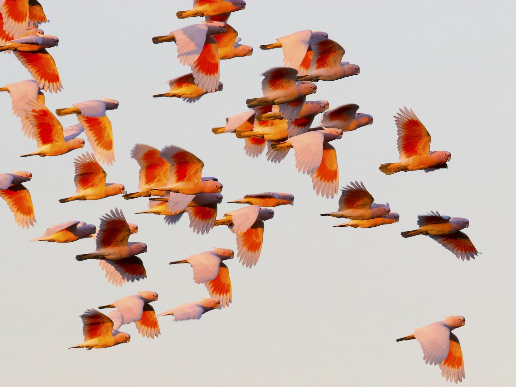 Pink Cockatoo - Nicholas Bourke