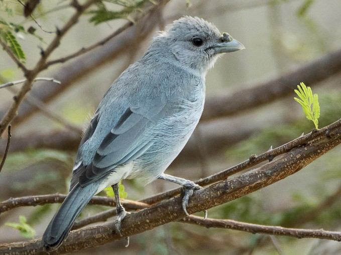 Glaucous Tanager - Dorian Anderson