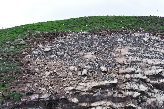 Example of cliff-ledge habitat; Newfoundland and Labrador, Canada.