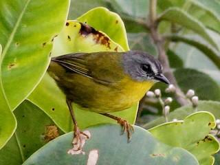 - Gray-headed Warbler