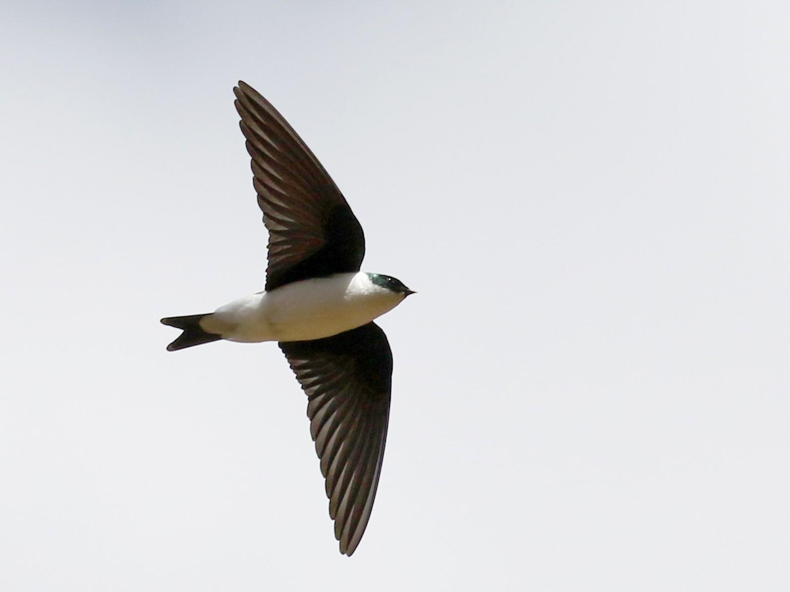 Golden Swallow - Jay McGowan