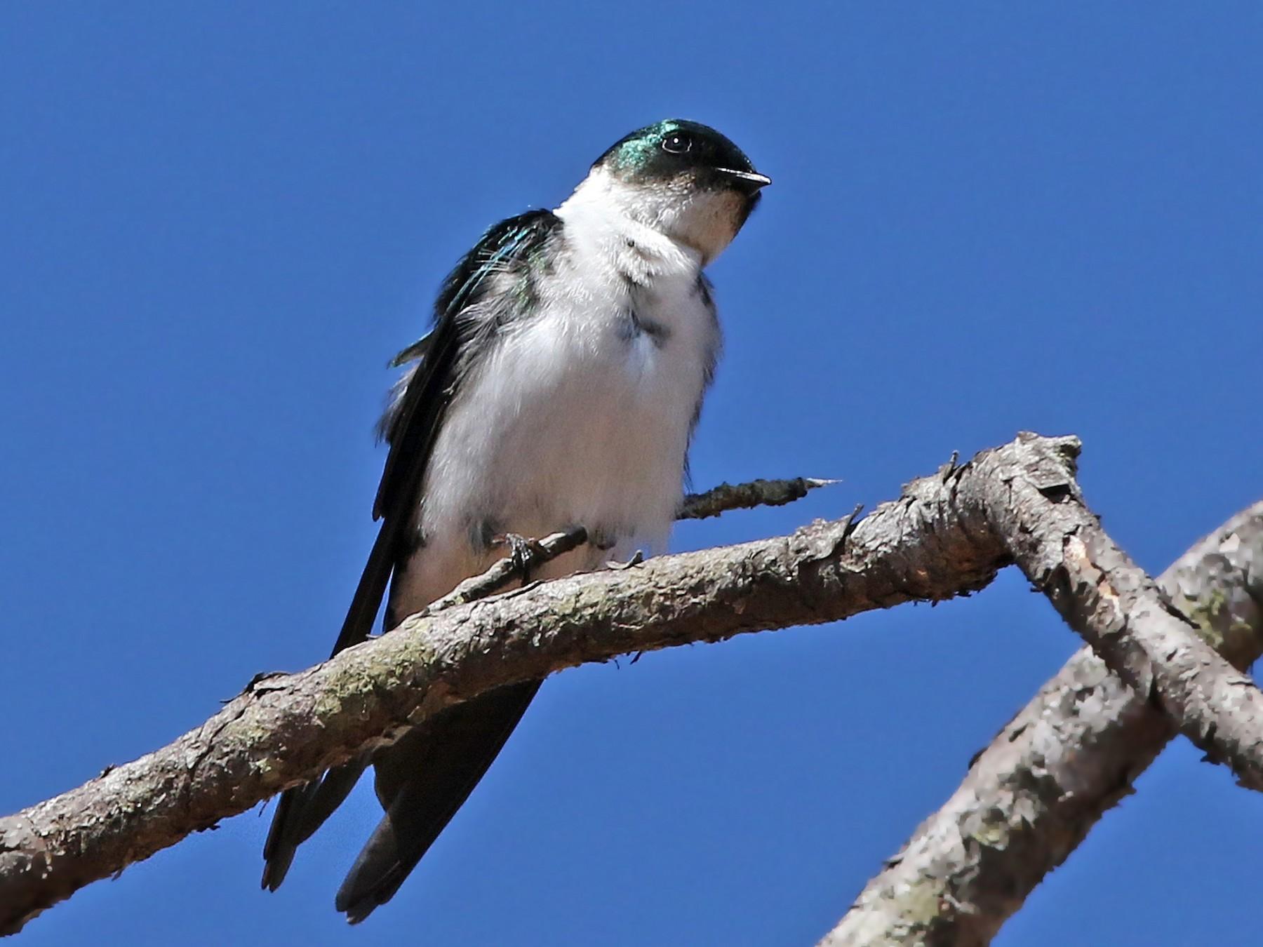 Golden Swallow - Volker Hesse