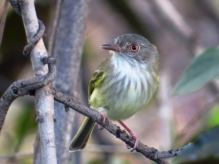 Pearly-vented Tody-Tyrant - Willian Menq