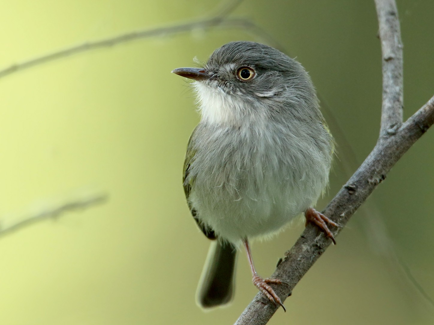 Pearly-vented Tody-Tyrant - Martjan Lammertink