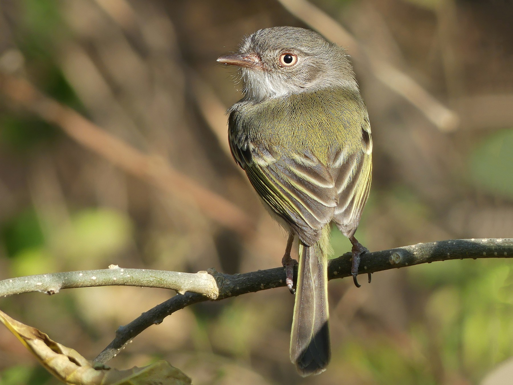 Pearly-vented Tody-Tyrant - Jorge  Quiroga