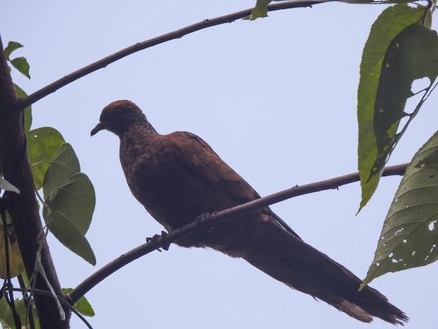 Barusan Cuckoo-Dove