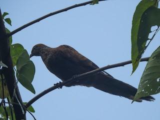 - Barusan Cuckoo-Dove