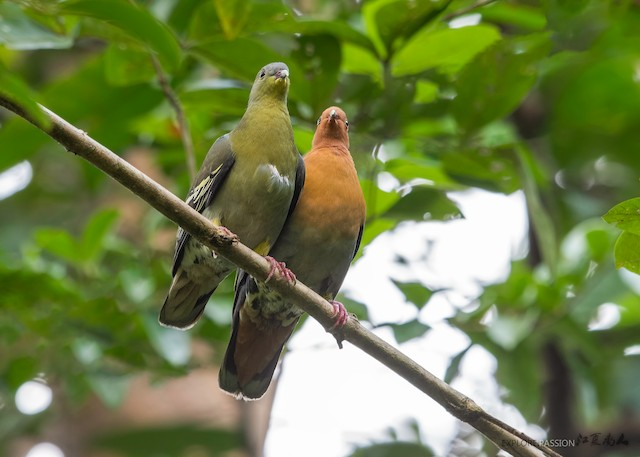 Cinnamon-headed Green-Pigeon