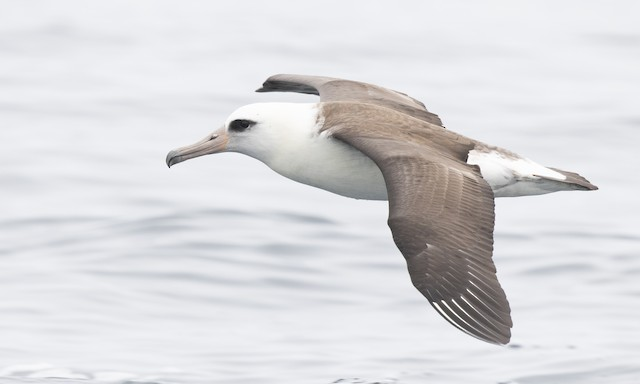 ©Brian Sullivan - Laysan Albatross