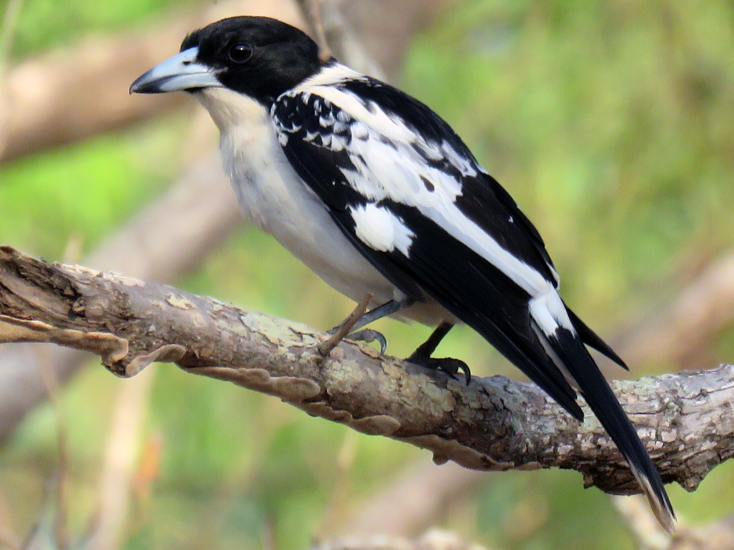 Black-backed Butcherbird - jannette and peter manins