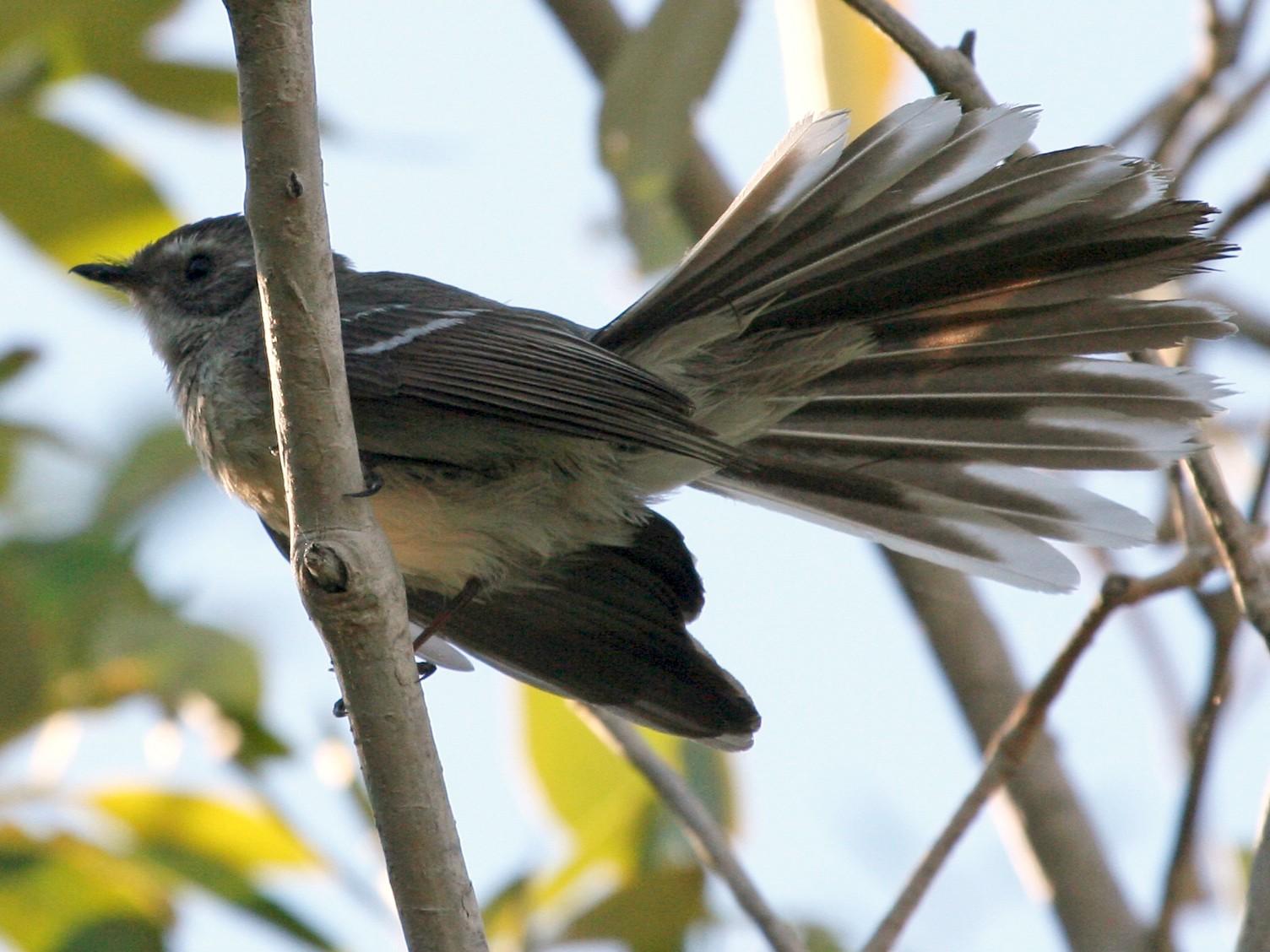 Mangrove Fantail - Ray Turnbull