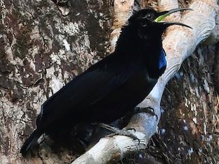 - Magnificent Riflebird