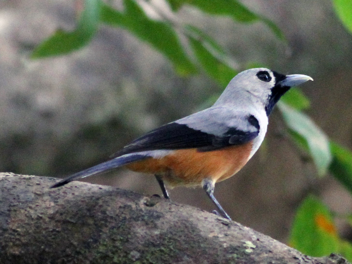 Black-winged Monarch - Chris Wiley