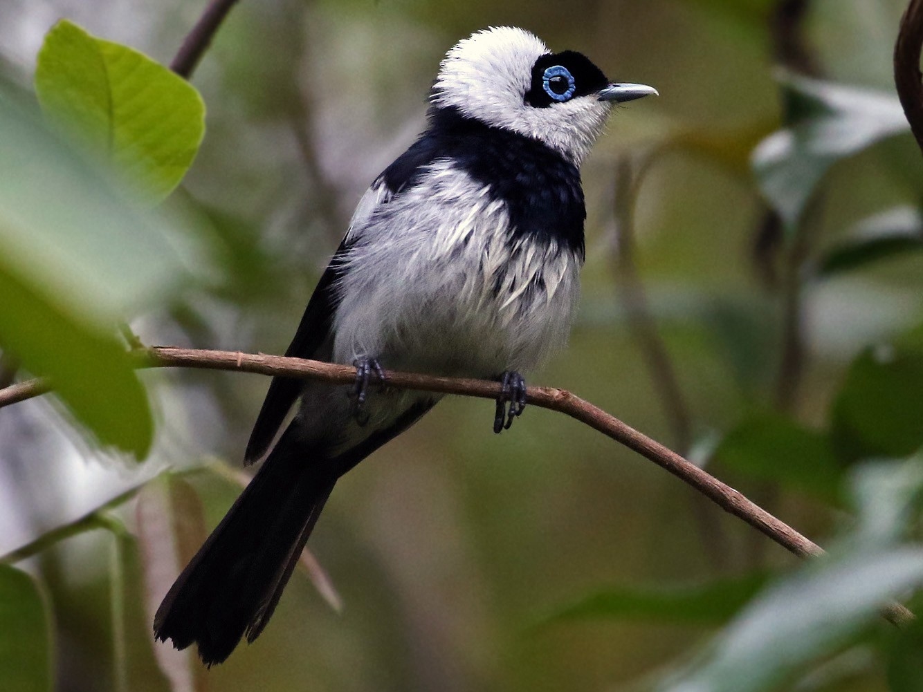 Pied Monarch - Andrew Spencer