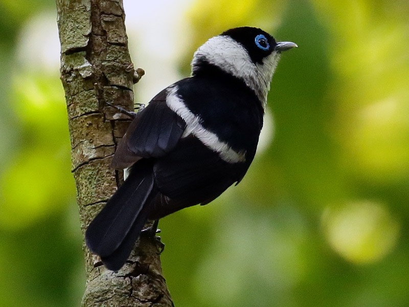 Pied Monarch - Arco Huang