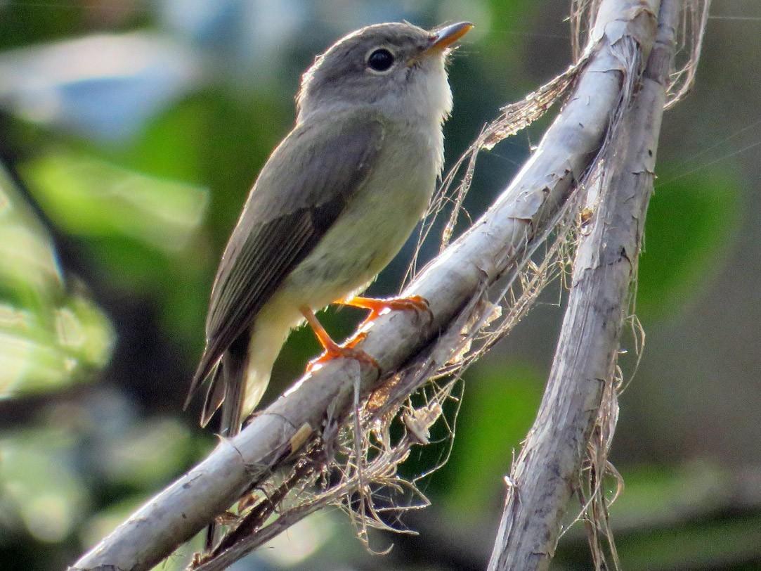 Yellow-legged Flycatcher - Richard Arnold