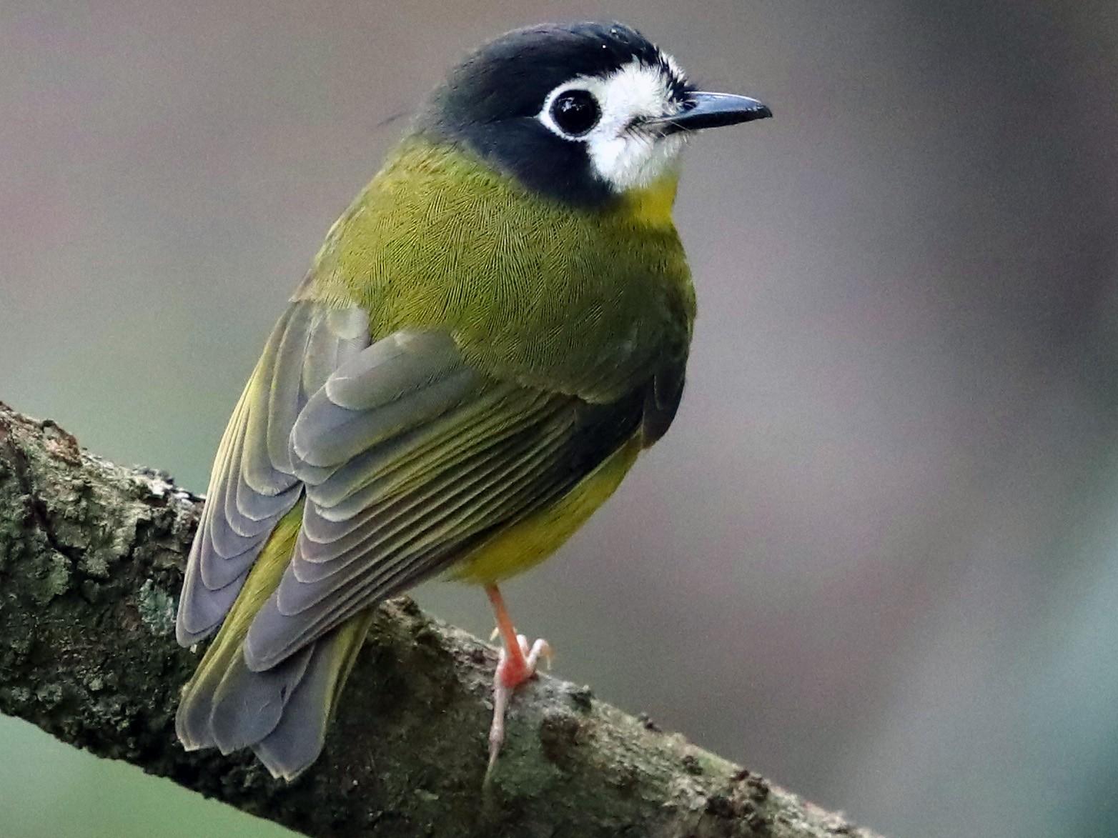 White-faced Robin - Doug Herrington    Birdwatching Tropical Australia Tours