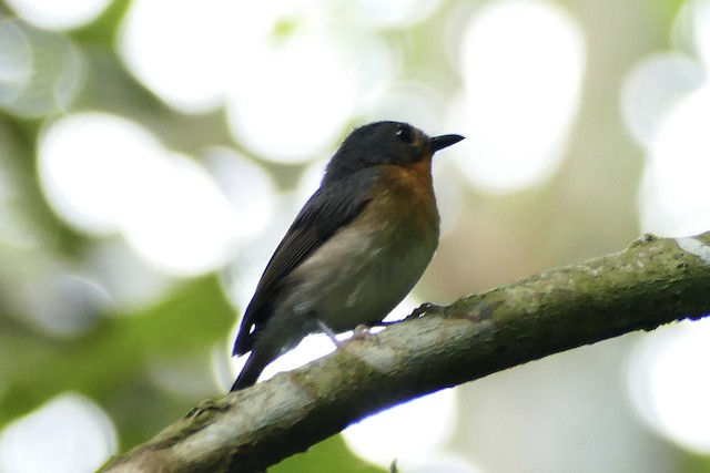 Rufous-throated Flycatcher