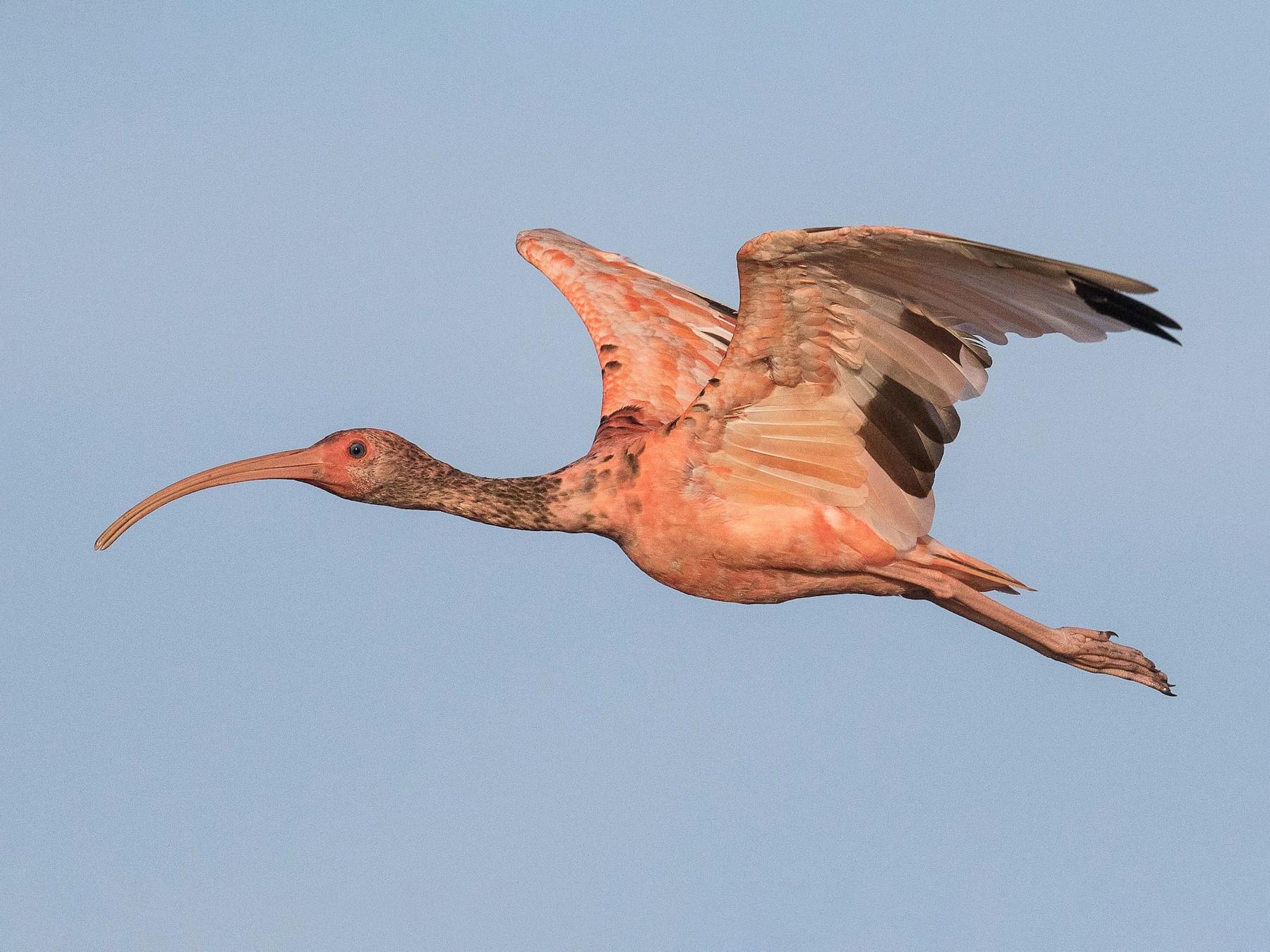 Scarlet Ibis - Eric VanderWerf