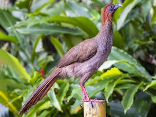 - Variable Chachalaca (Little)