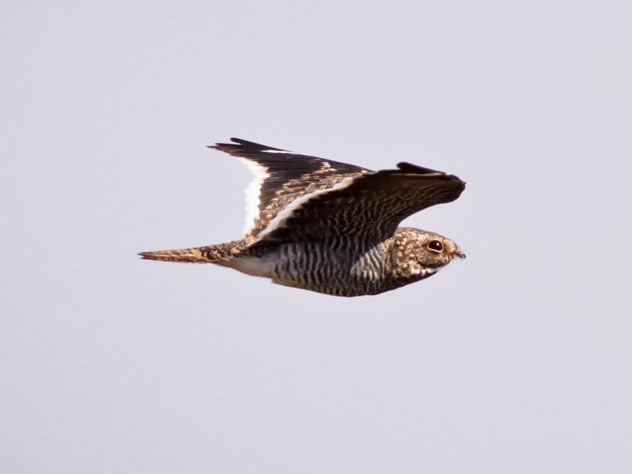 Least Nighthawk - Claudia Brasileiro