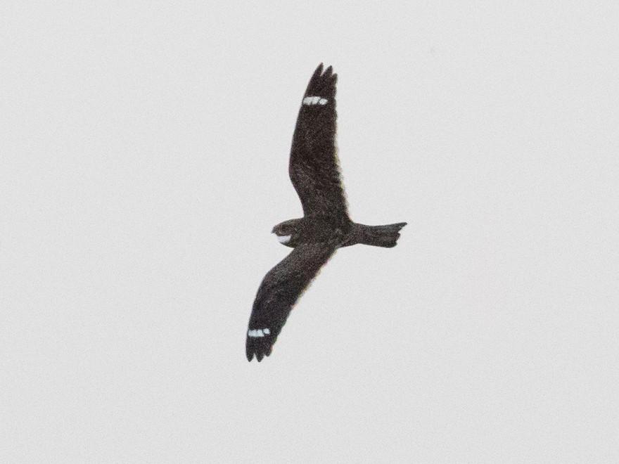 Least Nighthawk - Tom Johnson