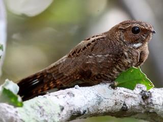 - Band-tailed Nighthawk