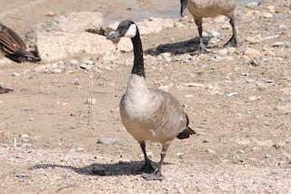 Canada Goose, ML174809711