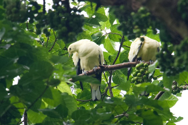 Silver-tipped Imperial-Pigeon