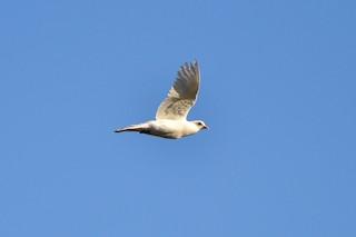 Rock Pigeon (Feral Pigeon), ML175129851