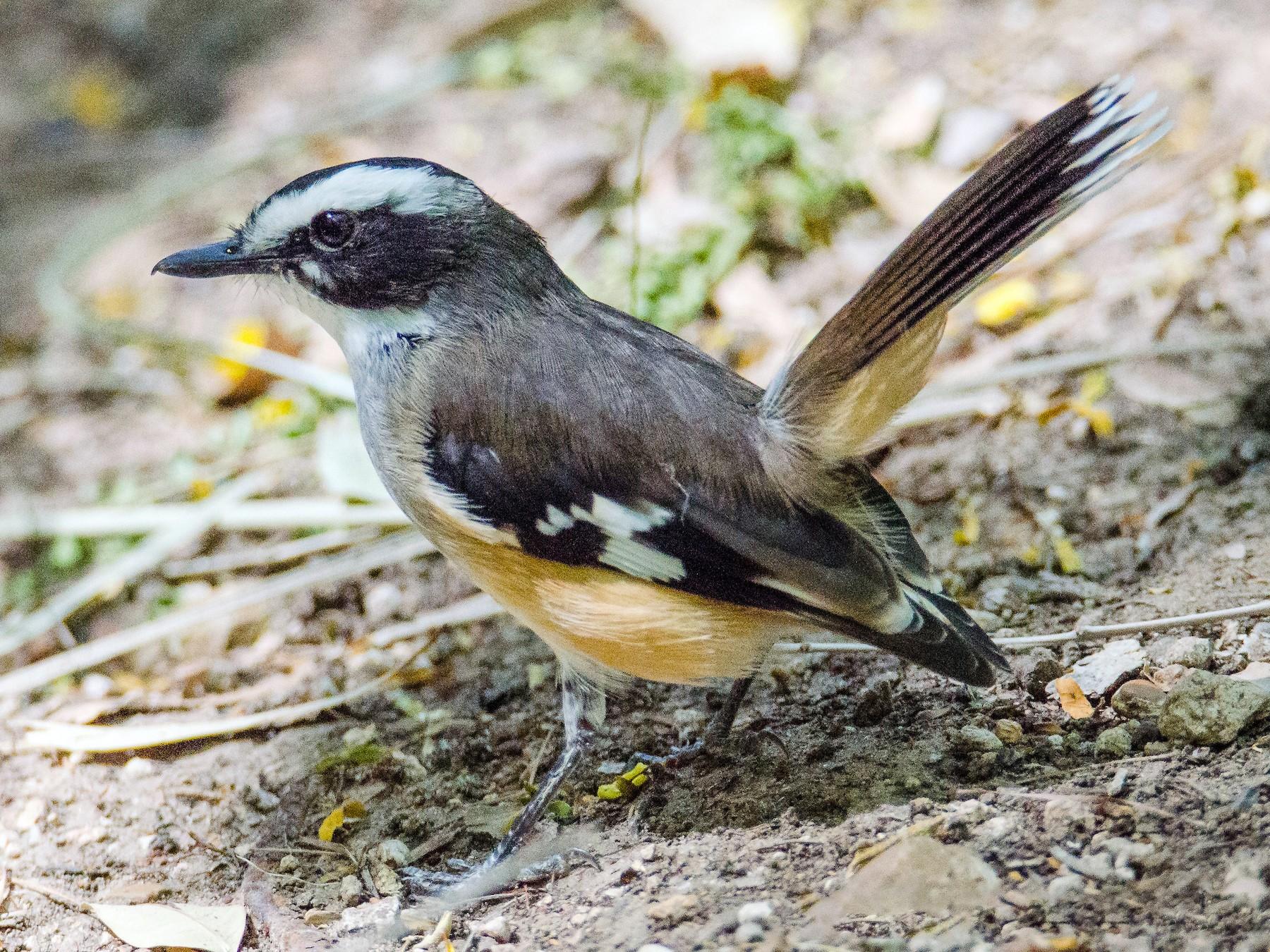 Buff-sided Robin - Jan Lile