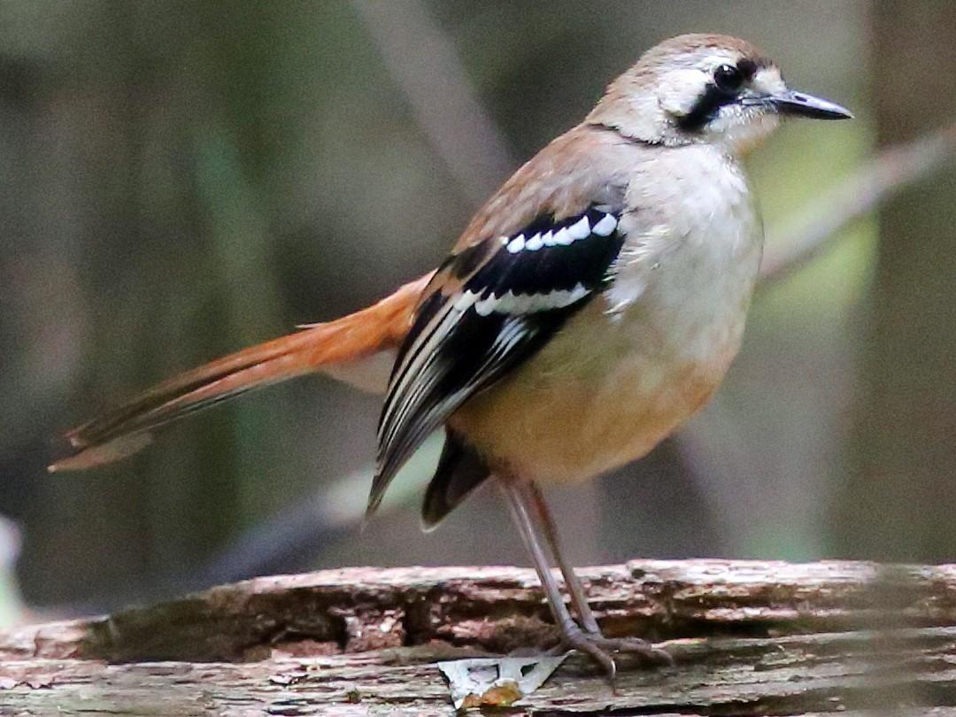 Northern Scrub-Robin - Doug Herrington || Birdwatching Tropical Australia Tours