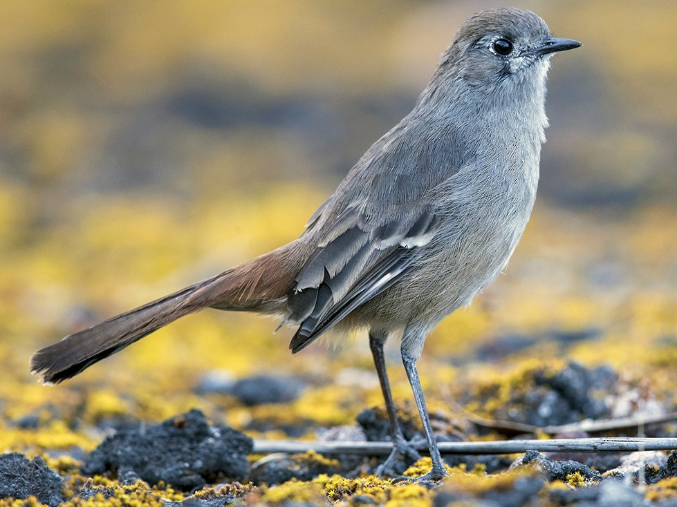 Southern Scrub-Robin - Laurie Ross | Tracks Birding & Photography Tours