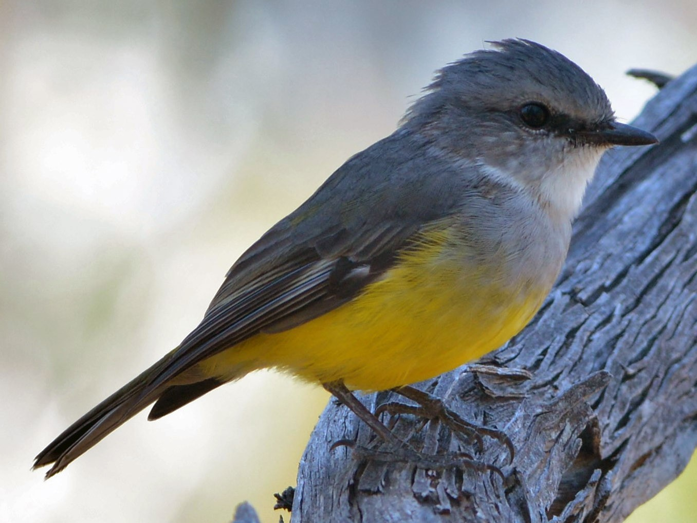Western Yellow Robin - David Hollie