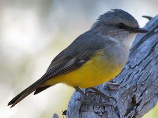 - Western Yellow Robin