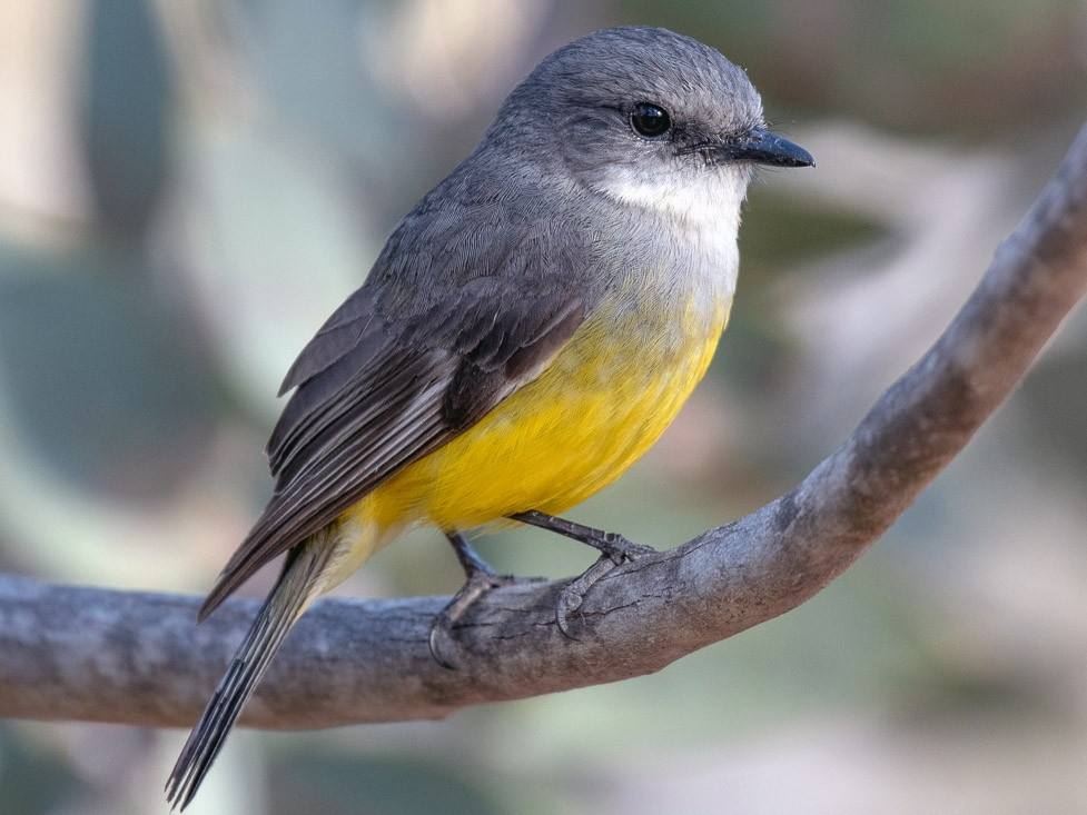 Western Yellow Robin - Barry Deacon