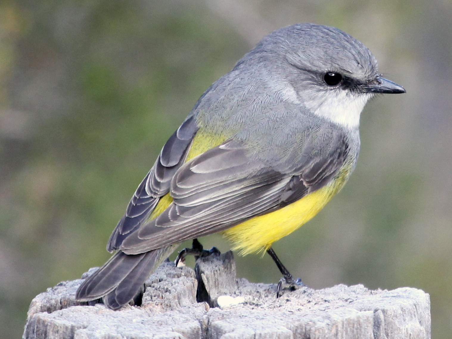 Western Yellow Robin - Ray Turnbull