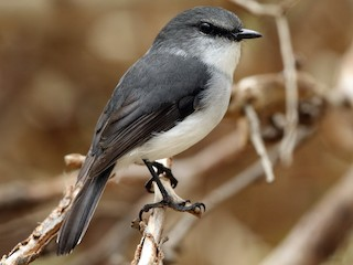 - White-breasted Robin