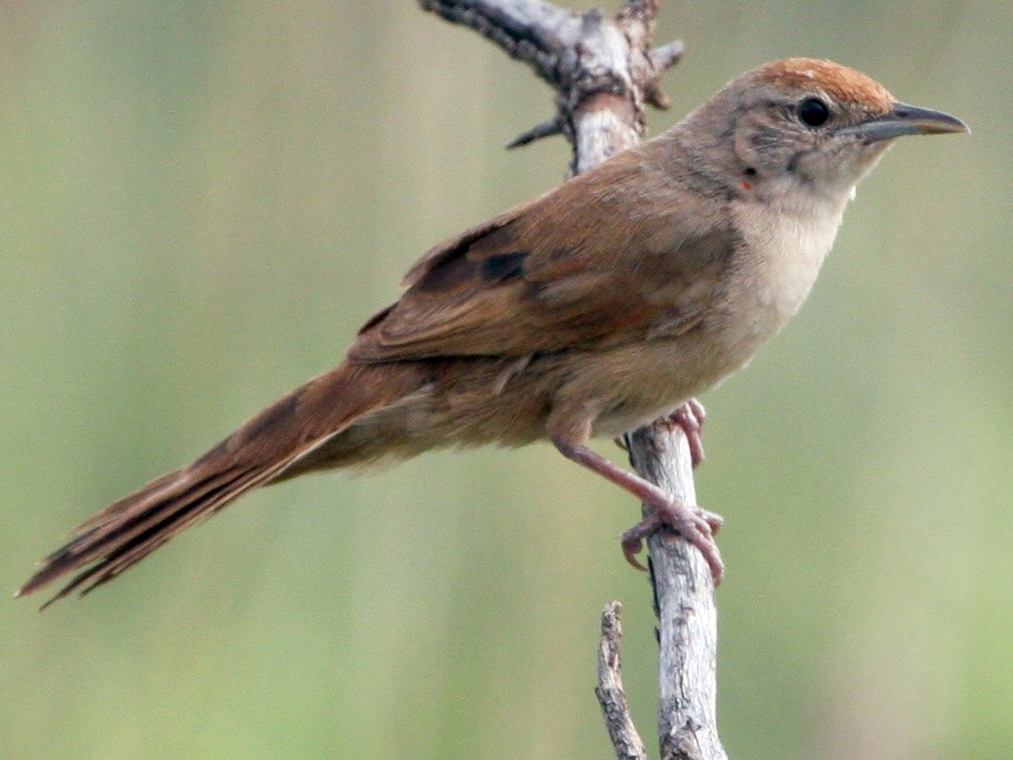 Spinifexbird - Ian Davies