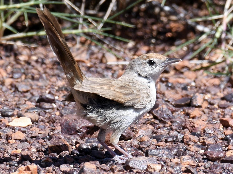 Spinifexbird - Charlie Scott