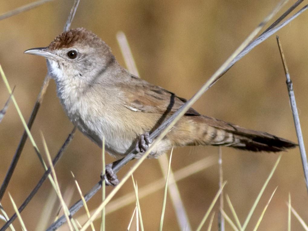 Spinifexbird - Stephen Murray