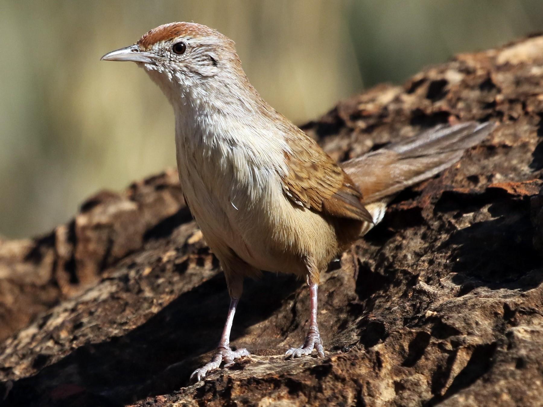 Spinifexbird - David Ongley