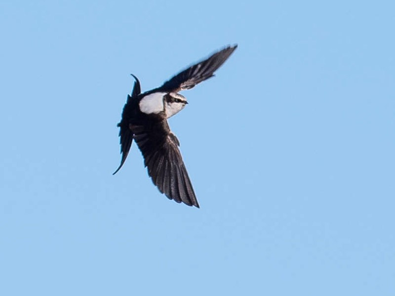 White-backed Swallow - Peter Taylor