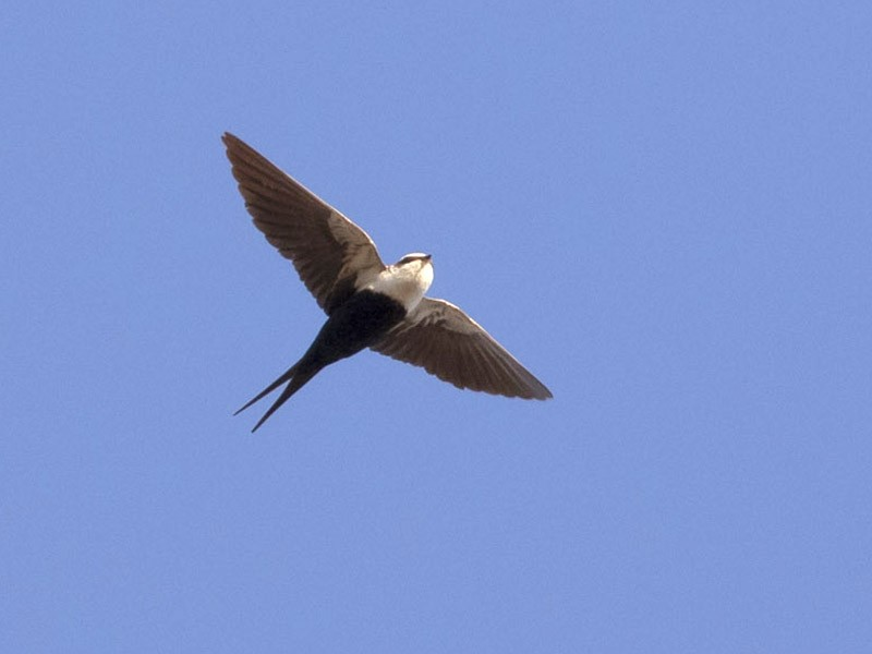 White-backed Swallow - Michael Todd