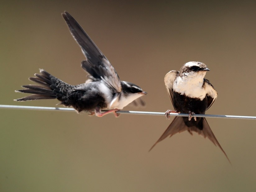 White-backed Swallow - Graeme Risdon